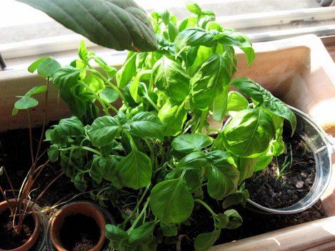 Culinotests il faut sauver mon basilic en pot - Arrosage basilic en pot ...
